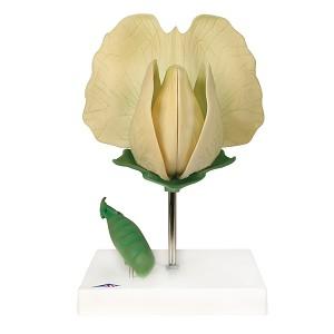 Bonenbloesem (Pisum sativum), Model