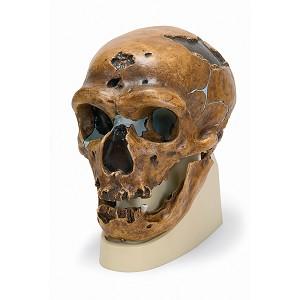 Replica Mensenschedel (Neanderthal)