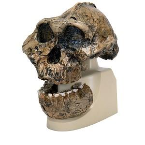 Replica Mensenschedel (Australopithecus)