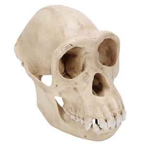 Chimpanseeschedel (Pan troglodytes), Vrouw, replica