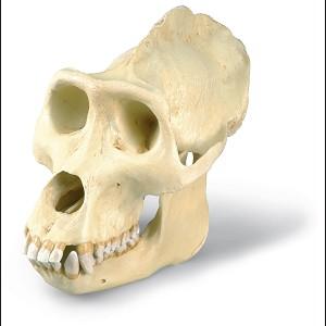 Gorillaschedel (Gorilla gorilla), Man
