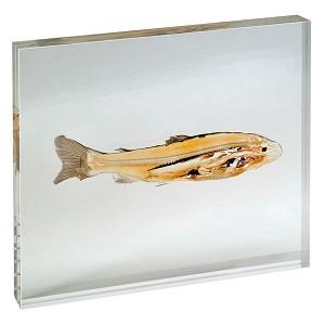 Zalm (Salmonidae), geplastificeerde doorsnede