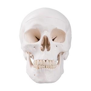 Menselijke schedel, 3-delig