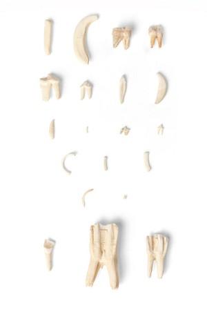 Tandsoorten van diverse zoogdieren (Mammalia)